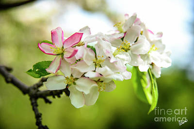 Photograph - Blooming -apples Blossoms  by Alana Ranney