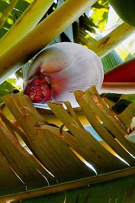 Photograph - Blooming Banana Tree 01 by Dora Hathazi Mendes