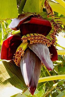 Photograph - Blooming Banana Tree 03 by Dora Hathazi Mendes