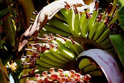 Photograph - Blooming Banana Tree 07 by Dora Hathazi Mendes