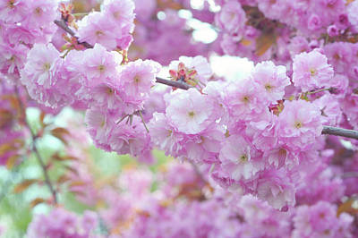 Photograph - Blooming Branch Of Kwanzan Cherry by Jenny Rainbow