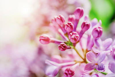 Photograph - Blooming Bright Lilac Buds Close-up. by Michal Bednarek