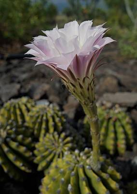 Photograph - Blooming Cacti by Pamela Walton