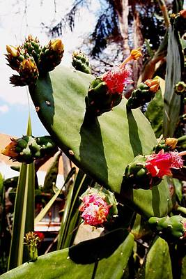 Photograph - Blooming Cactus by Dora Hathazi Mendes