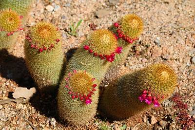 Photograph - Blooming Cactus by Kathryn Meyer