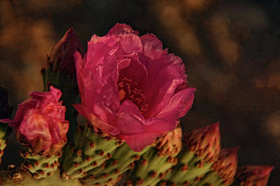 Photograph - Blooming Cactus by Theo O'Connor