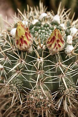 Blooming Cactus1 Art Print