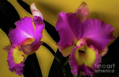 Photograph - Blooming Cattleya Orchids by D Davila