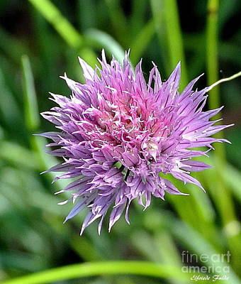 Photograph - Blooming Chive by Elfriede Fulda
