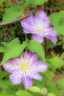 Photograph - Blooming Clematis by Dan Carmichael