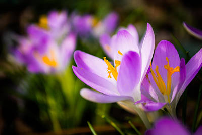 Photograph - Blooming Crocuses by Shelby Young