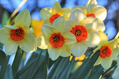 Photograph - Blooming Daffodils by Lynn Hopwood