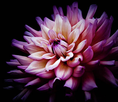 Photograph - Blooming Dahlia Flower by Athena Mckinzie