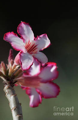 Photograph - Blooming Desert Rose by Ruth Jolly