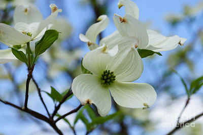 Photograph - Blooming Dogwood by Jennifer White