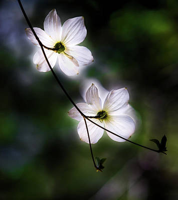 Bark Photograph - Blooming Dogwoods In Yosemite 2 by Larry Marshall