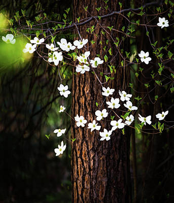 Blooming Dogwoods In Yosemite Print by Larry Marshall