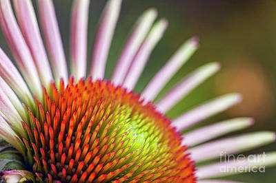 Photograph - Blooming Echinacea by Scott Kemper