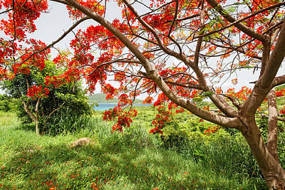 Flamboyan Photograph - Blooming Flamboyan Tree by George Oze