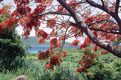 Flamboyan Photograph - Blooming Flamboyan Tree Tamarindo Bay  Culebra Island  Puerto Rico by George Oze
