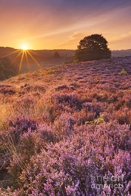 Heather Photograph - Blooming Heather At Sunrise At The Posbank, The Netherlands by Sara Winter