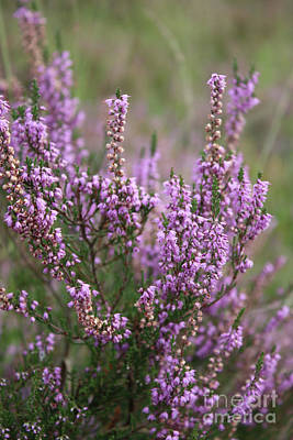 Natuur Photograph - Blooming Heather by Carol Groenen