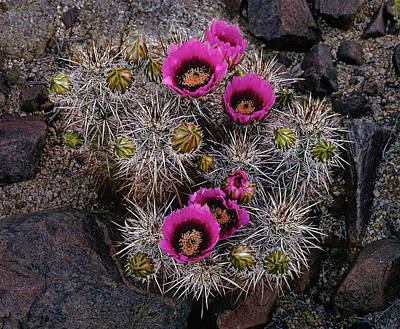 Photograph - Blooming Hedgehog Cactus by Paul Breitkreuz