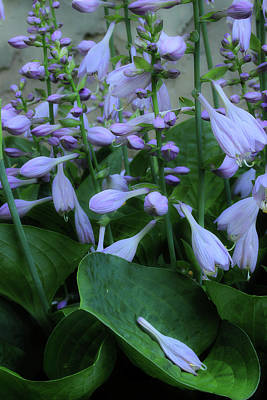 Photograph - Blooming Hosta by Mike Eingle