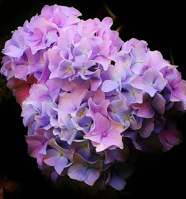 Photograph - Blooming Hydrangea by Bruce Bley