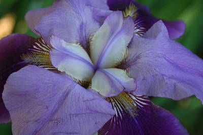 Art Print featuring the digital art Blooming Iris by Barbara S Nickerson