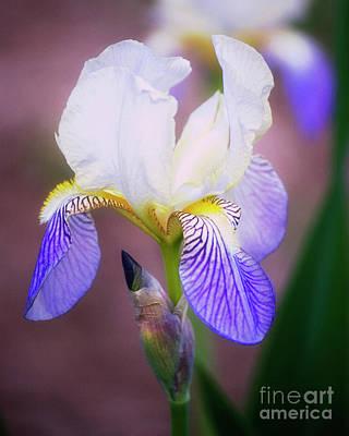 Blooming Iris Art Print by Shawn Bamberg