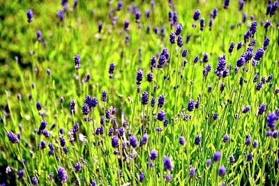 Jerry Sodorff Royalty-Free and Rights-Managed Images - Blooming Lavender by Jerry Sodorff