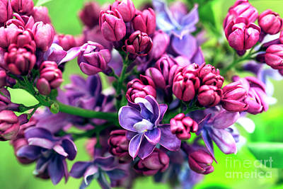 Photograph - Blooming Lilacs by John Rizzuto