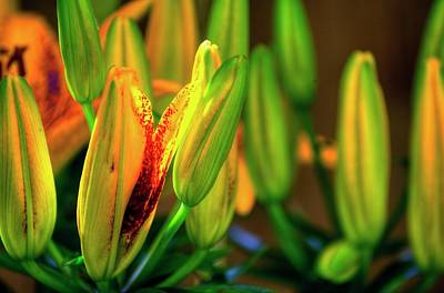 Photograph - Blooming Lily by Jerry Sodorff