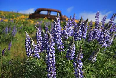 Photograph - Blooming Lupine by Lynn Hopwood