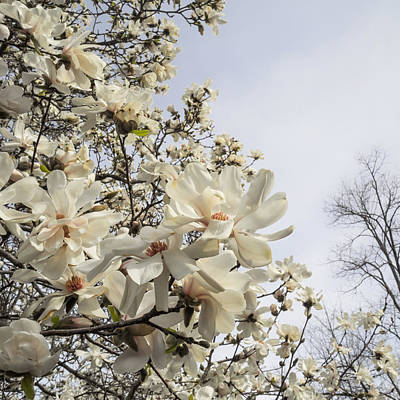 Photograph - Blooming Magnolia Stellata Star Magnolia Tree by Marianne Campolongo
