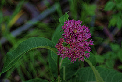 Photograph - Blooming Milkweed by Rick Friedle