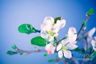 Photograph - Blooming Of Apple Tree by Anna Om