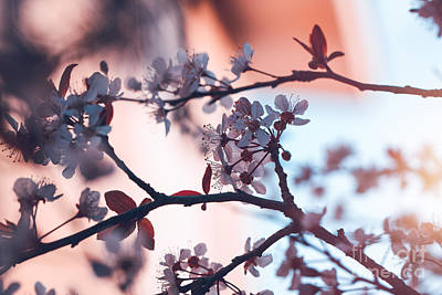 Photograph - Blooming Of Cherry Tree by Anna Om