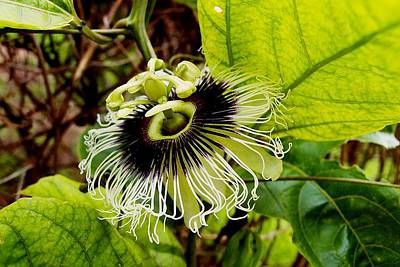 Photograph - Blooming Passion Fruit by Dora Hathazi Mendes
