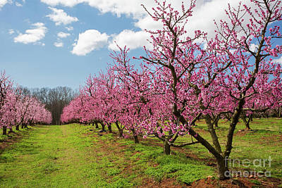 Photograph - Blooming Peach Orchard 2 by Kevin McCarthy