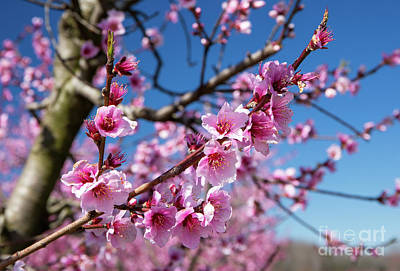 Photograph - Blooming Peach Orchard 3 by Kevin McCarthy