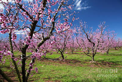 Photograph - Blooming Peach Orchard 4 by Kevin McCarthy