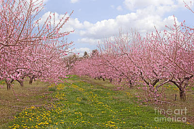 Photograph - Blooming Peach Orchard by Ann Jacobson
