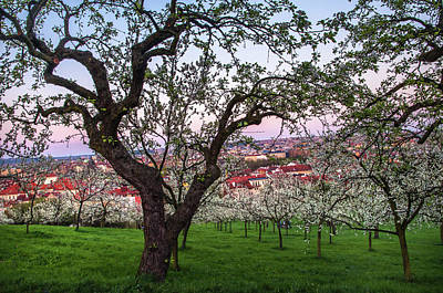 Photograph - Blooming Petrin Orchards At Sunset. Prague by Jenny Rainbow