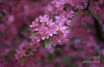 Photograph - Blooming Pink Fantasy by Rachel Cohen