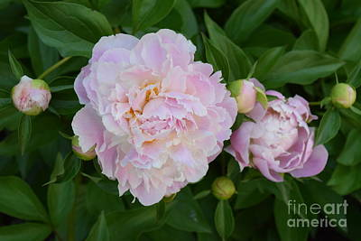 Photograph - Blooming Pink Peonies by Jeannie Rhode