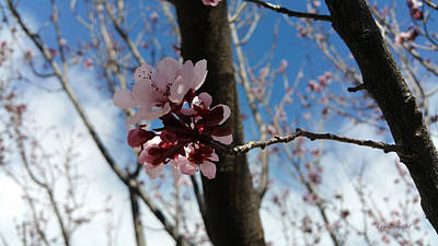 Photograph - Blooming Plum Tree 2 by Kume Bryant