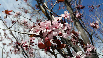 Photograph - Blooming Plum Tree by Kume Bryant