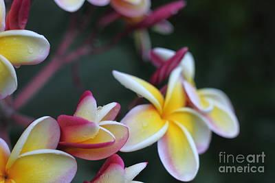Wall Art - Photograph - Blooming Plumeria by Sara Ricer